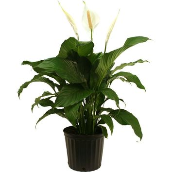 Delray Plants Spathiphyllum Sweet Pablo in 9-1/4 in. Pot-10SPATHSWEET - The Home Depot