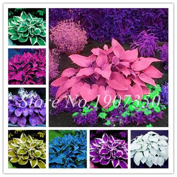 100 Colorful Hosta Seeds Perfect Color Perennials Plantain Mixed Beautiful Lily Flower White Lace Home Garden Ground Cover Plant