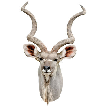 Greater Kudu Antelope Mount Wall Decal