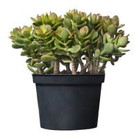 CRASSULA Potted plant, Money tree - IKEA