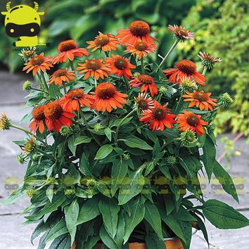 'Flamenco' Orange Coneflower Flower Echinacea Purpurea Seed, 20 Seeds/Pack, Lightly Fragrant Perennial Garden Bonsai Plants