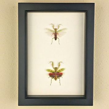 Jeweled Flower Mantises // Real Framed Praying Mantis Pair, Male and Female; Preserved and Mounted Insect Taxidermy Specimens