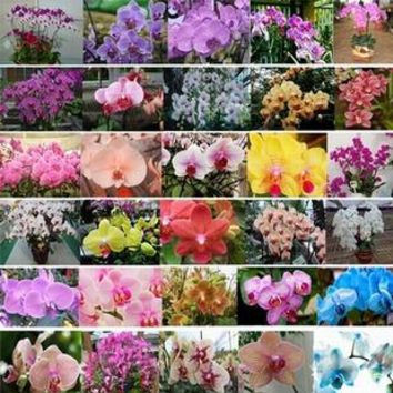 Butterfly orchids potted flowers seed   plants 20 seeds to purify the air