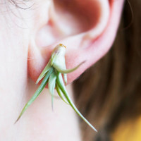 Air Plant Earrings // Green Airplants for your Lobes by tohold