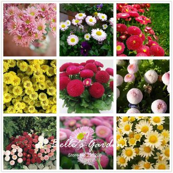 100pcs Multi-colors Variety Daisy Seeds Hardy Plants 'Bellis Tasso' Daisy Flower Seeds Exotic Ornamental Flowers Bonsai Seeds