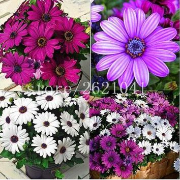 African Blue Eyed Daisy Seeds Osteospermum seeds Cape Mix Flower Heirloom 100PCS