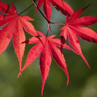 Japanese Maple Small Seeded Tree Seeds (Acer palmatum) 15+Seeds