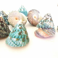 Trochus seashells 9 pc, Elongated Troca sea shells, turquoise blue green cone shells, Coastal Beach Decor, Nautical, crafts, Wedding decor