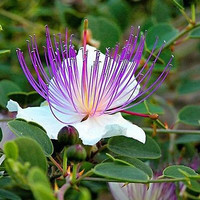 Caper Bush Seeds (Capparis Spinosa) 25+Seeds