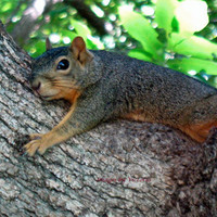 Tree Hugger Squirrel Fine Art Photo 5x7 -Woodland/ Nature /Critter by critterconnection