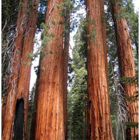 Sequoia National Park Redwood Trees Poster 11x17