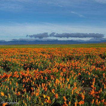 Poppy Fields Flower Wall Art Print -- Fine Art landscape photography, Spring, California, Home Decor, by HeatherRobersonPhoto