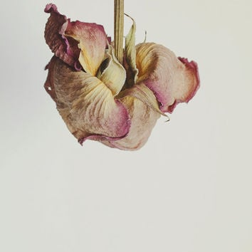 Dried Rose Floral Still Life Macro Photography Home Decor Wall Art Nature Decor Flower Garden Photography