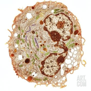 White Blood Cell, TEM Photographic Print by Thomas Deerinck at Art.com