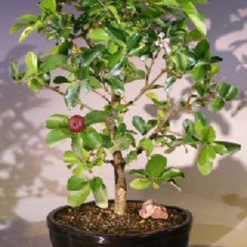 Flowering Dwarf Weeping Barbados Cherry Bonsai Tree - Large(malpighia Pendiculata)