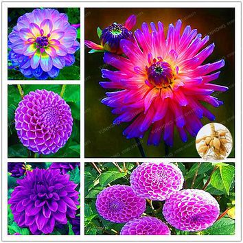 2 Bulb True Purple Dahlia Bulbs Flower,Bonsai Flower Bulb,Symbolizes Courage And Lucky,Home Garden Plant-(Not Dahlia Seeds)