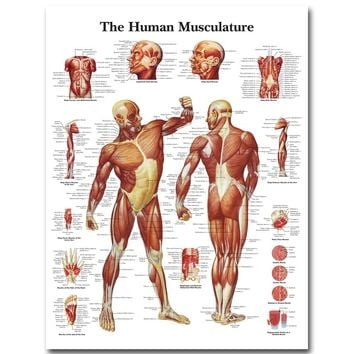 Human Anatomy Muscles System Art Silk Poster Print 24x32 32x43 inch Body Map Wall Pictures for Medical Education Home Decor 025