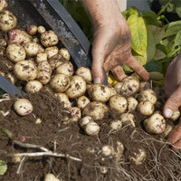 4 Simple Steps to Grow a Hundred Pounds of Potatoes in a Barrel | greenUPGRADER