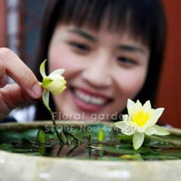 Water Lilies, Bowl Lotus seeds - 5 seeds