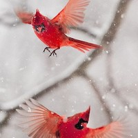 6006PX Fun Place: Cardinals in a Snowstorm