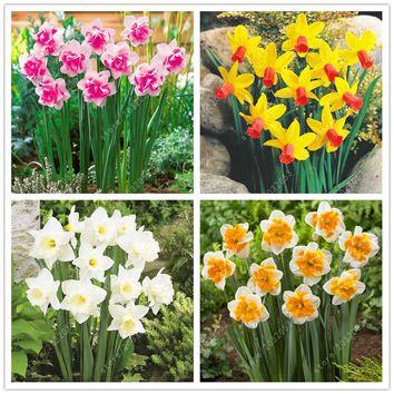 100 pcs/bag Aquatic Plants Double Petals daffodil seed, bonsai flower seeds (not daffodil bulbs) plant pot for home garden