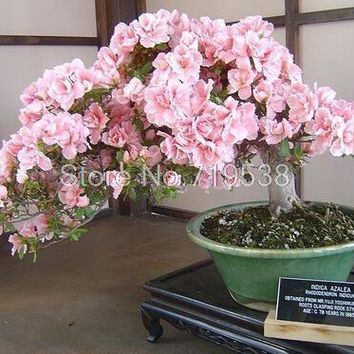 Bonsai Tree japanese sakura seeds 5 pcs ,bonsai flower seeds Cherry Blossoms