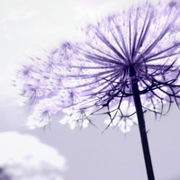 Lilac Rays- Minimalist Fine Art Photography, Purple, Lilac, Lavender,  Home Decor, Soft, Ethereal, Queen Anns Lace,
