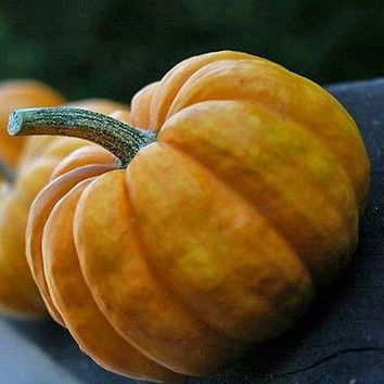 Pumpkin Jack Be Little Vegetable Seeds (Cucurbita pepo) 50+Seeds