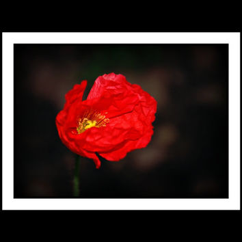 Floal Photography Poppy,california poppy,crimson,red,yellow,gift under 25,home decor,brilliant red closeup,macro photography,graceful,flower