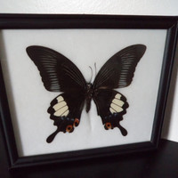 Real Great Helen Butterfly Framed Display Taxidermy Pailip Iswara White Lepidopterology Entomology Zoology