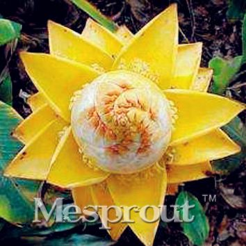 Hot!! 20pcs/lot Musella Lasiocarpa Seeds Rare New Dwarf Banana Golden Tropical Lotus Flower Seeds Small Plant Tree Giant Flowers