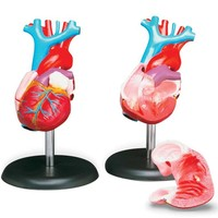 Anatomical Chart Co. Budget Life-Size Heart Model-CH7