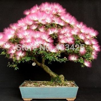 20 Seeds Albizia Julibrissin Tree Seeds (mimosa/persian Silk Tree)