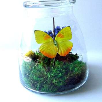 Butterfly terrarium - Real butterfly specimen - unique gift - insect display - yellow Phoebis Philea butterfly - taxidermy - entomology