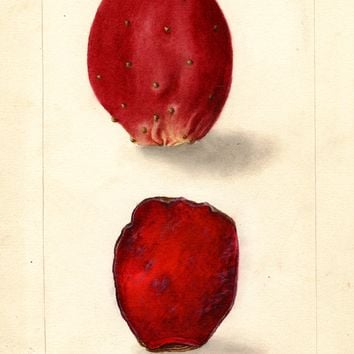 Prickly Pear, Rose Prickly Pear (1904)