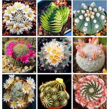 New Fresh Seeds 100Pcs/Pack Rare Cactus Seeds,Rare Meaty Plant Seeds ,Bonsai Plants Seeds For Home & Garden