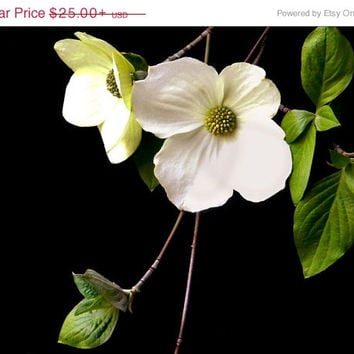 On Sale Botanical Art Print - Dogwood Blossom - Vivid Green Black and White Photography Large Wall Art -  20x30 16x20 or 8x10 Print