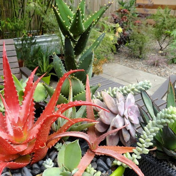Aloe Mix Succulent Seeds (Aloe species mix) 20+Seeds