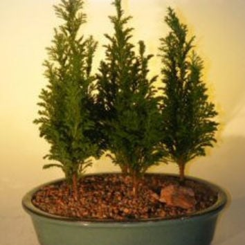 Italian Cypress Evergreen Bonsai Tree - Medium Five Tree Forest Group (cupressus sempervirens)