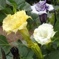 Datura Ballerina Mix, Moonflower Seeds, Lovely Fragrance Too, 5 Seeds