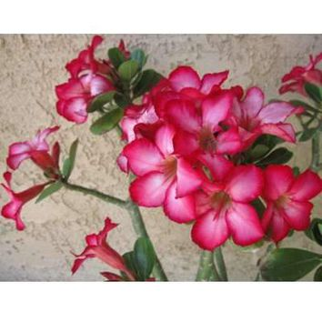 9GreenBox - Desert Rose Bonsai - 12'' Pot