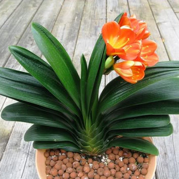 1 Clivia Flower Seeds (Kaffir Lily), Gorgeous Lucky Ideal Home Garden