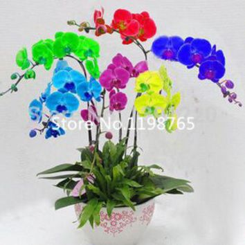 Phalaenopsis seeds, potted plants  mixed colors Bonsai Flower Seeds, 100 pcs/bag Orchid Seeds