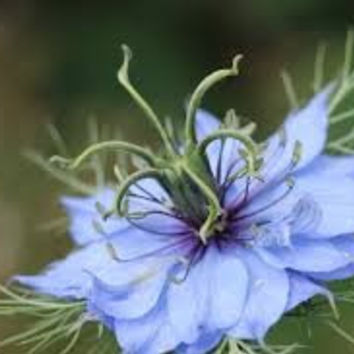 The Dirty Gardener Nigella Damascene Love in a Mist Fennel Flower Mix - 100 Seeds
