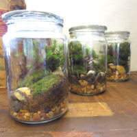 The Jolly Green Terrarium.... Live Moss Terrarium in a Glass Apothecary Jar Great Desktop Terrarium Apartment Garden Live Plants