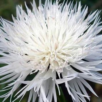 Bachelor Button, Tall White Seeds, Organic Seeds, Beautiful Bright Blooms,