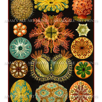 Art Nouveau Sea Life Art Print - Natural History Scientific Illustration By Ernst Haeckel
