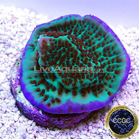 Saltwater Aquarium Corals for Marine Reef Aquariums: Purple Rim Danae Montipora Coral - Aquacultured