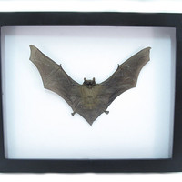 Real Mummified Bat Shadowbox Bat Display Taxidermy Art