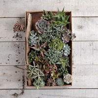 Succulents | west elm